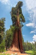 Coast Redwood 10 Seeds (Sequoia sempervirens)Tallest tree- great as a bonsai